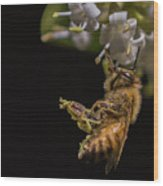 Honey Bee Kick, Apis Mellifera Wood Print