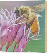 Honey Bee on Joe Pye Weed Wood Print