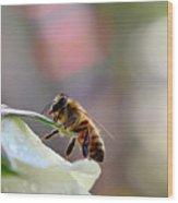 Honey Bee Visiting White Rose Wood Print
