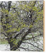 Honey Locust Tree On A Spring Snow Day Wood Print