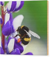 Honey Nut Lupin Wood Print