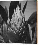 Honey Pot King Sugar Bush Protea Wood Print