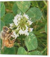 Honeybee Drinking From Clover Bloom   Summer  Indiana Wood Print