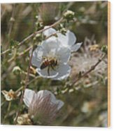 Honeybee Gathering From A White Flower Wood Print