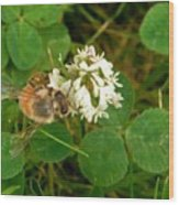 Honeybee On Clover Looking At Camera Wood Print