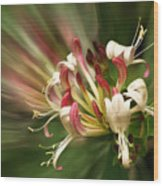 Honeysuckle Breeze Wood Print