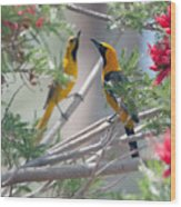 Hooded Oriole Duo Wood Print