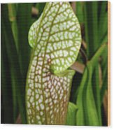 Hooded Pitcher Plant Wood Print