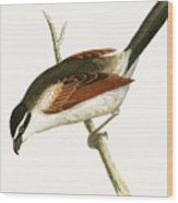 Hooded Shrike Wood Print