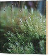 Hoomalumalu Kuhiwa Wood Print