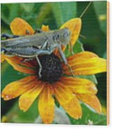 Hopper On Black Susan Flower Wood Print