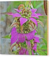Horsemint On Trail To North Beach Park In Ottawa County, Michigan Wood Print