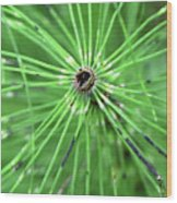 Horsetail Reed 1 Wood Print