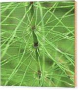 Horsetail Reed 2 Wood Print