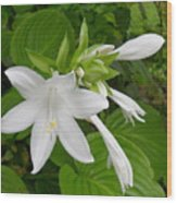 Hosta Bloom Wood Print