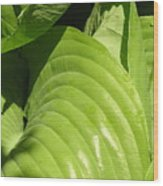 Hosta Curls Wood Print
