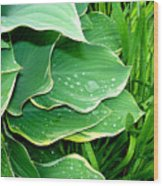 Hosta Leaves And Waterdrops Wood Print
