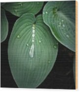 Hostas After The Rain Wood Print