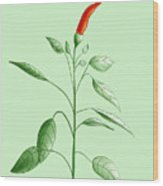 Hot Chili Pepper Plant Botanical Illustration Wood Print
