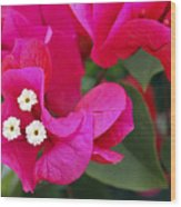 Hot Pink Bougainvillea Wood Print