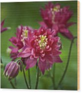 Hot Pink Columbine Wood Print