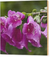 Hot Pink Foxglove Wood Print