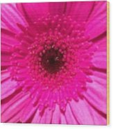Hot Pink Gerbera Wood Print