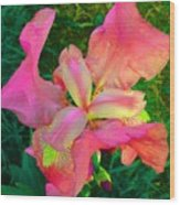 Hot Pink Iris Flower Wood Print