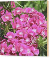 Hot Pink Sweet William Flowers In A Garden Blooming Wood Print