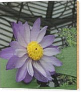 Hothouse Waterlily Wood Print