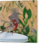House Finch - 2 Wood Print