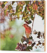 House Finch Hanging Around Wood Print