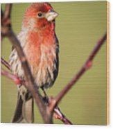 House Finch In Full Color Wood Print