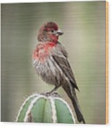 House Finch Perched On Cactus  Wood Print