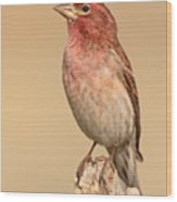 House Finch With Crest Askew Wood Print