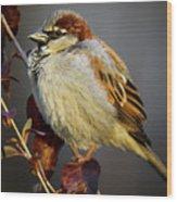 House Sparrow 1 Wood Print