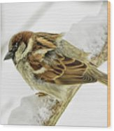 House Sparrow Wood Print