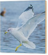 Hovering Seagull Wood Print