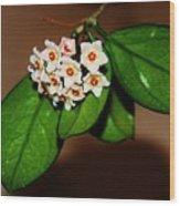 Hoya Carnosa Wood Print