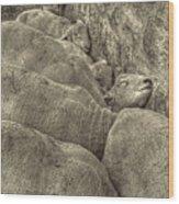 Huddled Yearling Rams Wood Print