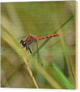 Hudsonian Whiteface Dragonfly Wood Print
