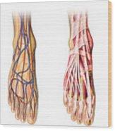 Human Foot Anatomy Showing Skin, Veins Wood Print