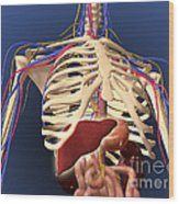 Human Skeleton Showing Digestive System Wood Print