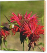 Hummer In The Bee Balm Wood Print