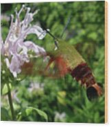 Hummingbird Clear-wing Moth At Monarda Wood Print