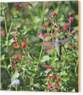 Hummingbird Drinking From Red Trumpet Vine Wood Print