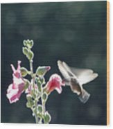 Hummingbird Drinking Pink Hollyhock Photography Wood Print