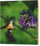 Hummingbird Hawk Moth 2 Wood Print