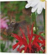 Hummingbird Mid Flight Wood Print