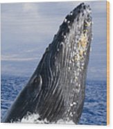 Humpback Whale Breaching Wood Print